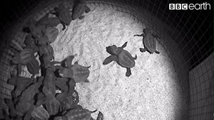 Our Blue Planet: Turtles Hatching LIVE